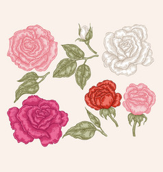 Pink red and white rose flowers in vintage style vector