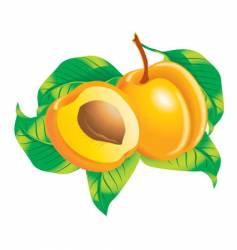 apricots vector image