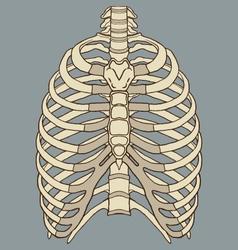 Human Rib Cage Anatomy vector image vector image