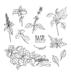 set of basil plant contour hand drawn collection vector image