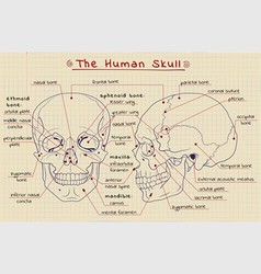 structure of the skull vector image vector image