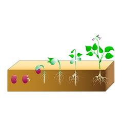 Seed germination vector image vector image