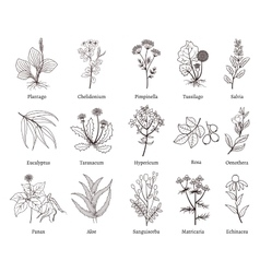 Medicinal herbs and plants doodle vector