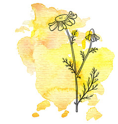 Chamomile flower at watercolor background vector