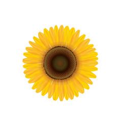 sunflower summer flower isolated vecor vector image