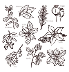 Sketch herbs and spice collection vector