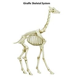 Skeletal system of a giraffe vector
