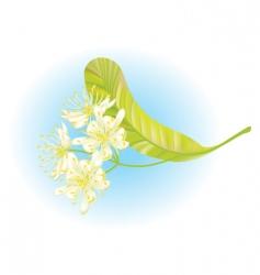 Linden flowers vector