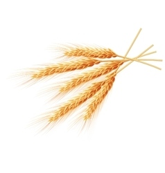 Wheat ears isolated on white background EPS 10 vector image vector image