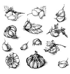 Hand drawn set of garlic with parsley and vector
