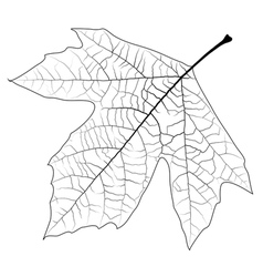 Unclolred sycamore leaf vector