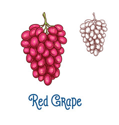 Red grape fruit isolated sketch for food design vector