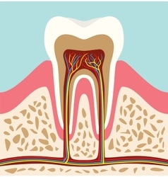 Tooth teeth cell structure anatomy with flat style vector