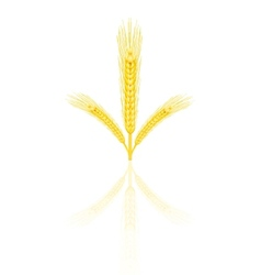 yellow wheat vector image