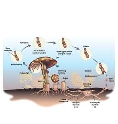 Mushroom life cycle vector