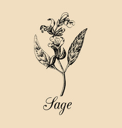Sage hand drawn salvia branch vector