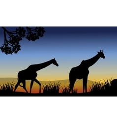 Two giraffe walking in fields vector