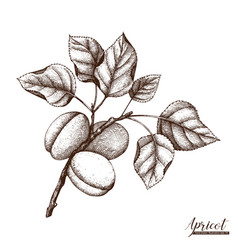 apricot vintage sketch vector image vector image