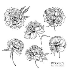 Beautiful peonies set hand drawn detailed blossom vector