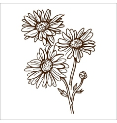 Camomile flower isolated on white vector image