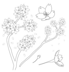 Prunus serrulata outline - cherry blossom sakura vector