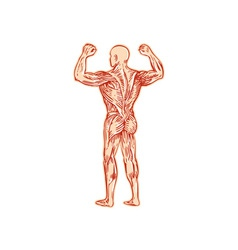 Human muscular system anatomy etching vector