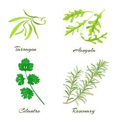 herbs tarragon arugula cilantro or coriander vector image vector image