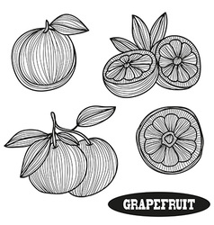 Hand drawn grapefruits vector