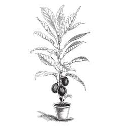 Ficus cooperi vintage vector