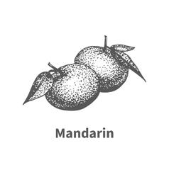hand-drawn mandarin vector image vector image