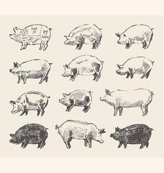 Drawn pigs mangalica pork restaurant menu vector