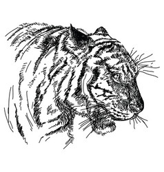 tiger head hand drawing vector image