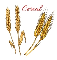 Cereal wheat and rye ears isolated icon vector