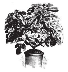 Osborns prolific fig vintage vector
