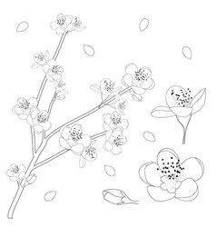 Prunus persica outline - peach flower blossom vector
