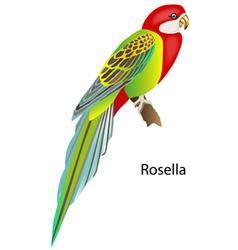 Parrot rosella vector
