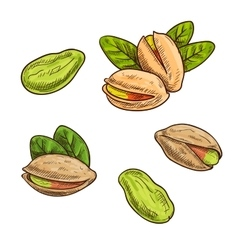 Pistachios isolated icon vector