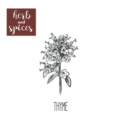 thyme sketch hand drawing thyme vector image vector image