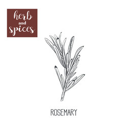 Rosemary sketch hand drawing vector