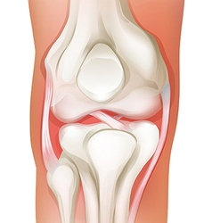 Knee joint of human vector