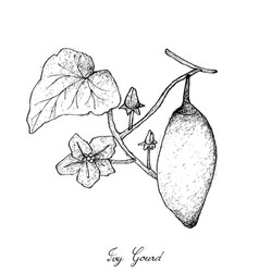 Hand drawn of coccinia grandis fruits or ivy gourd vector