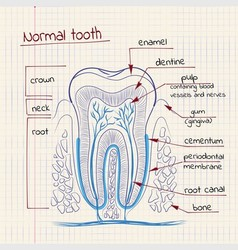 Tooth structure vector