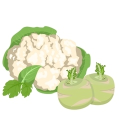 Cabbage and cauliflower vector image