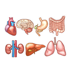 human organs in cartoon style biology vector image vector image