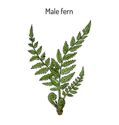 Male fern dryopteris filix-mas plant with leaves vector
