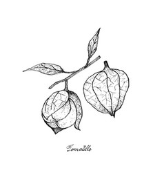 Hand drawn of fresh tomatillos in white background vector