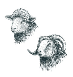 Horned ram and lamb vector