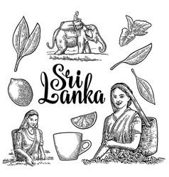 female tea pickers harvesting leaves rider on vector image