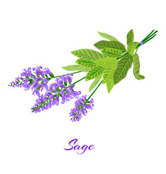 Flowering sage sage herb vector