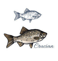 crucian fish isolated sketch icon vector image